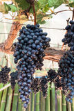 Bunches of grapes hang from a vine Stock Photo