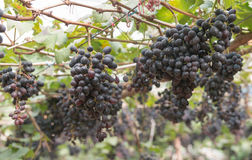 Bunches grapes hang from a vine Royalty Free Stock Photo