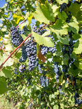 Bunches of grapes hanging in vineyard Stock Images