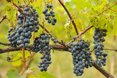 Bunches of grapes before harvest Royalty Free Stock Photography