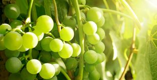 Bunches grapes illuminated setting sun. royalty free stock images