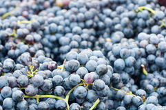 Bunches of grapes Lambrusco , a typical Italian grape. Ready to be pressed in italy Stock Images
