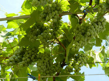 Bunches of grapes Lydia Royalty Free Stock Photography