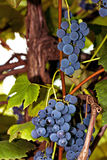 Bunches of grapes ready to harvest Stock Photography