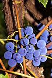 Bunches of grapes ready to harvest Royalty Free Stock Photos