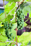 Bunches of grapes ripen Stock Photo