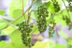 Bunches of grapes ripen young Stock Photography