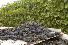 Bunches of Grapes on a Sorting Table. Heaps of wine grape bunches in the vineyard stock images