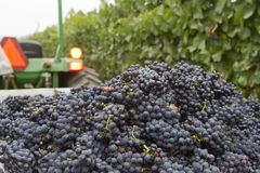 Bunches of Grapes on a Sorting Table. Heaps of wine grape bunches in the vineyard royalty free stock photos