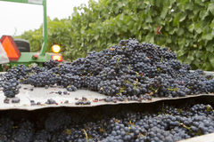 Bunches of Grapes on a Sorting Table. Heaps of wine grape bunches in the vineyard Royalty Free Stock Photography