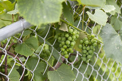 Bunches of grapes before they started to ripen Royalty Free Stock Photos