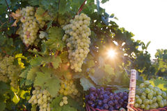 Bunches of grapes in sunlight. Basket with grapes in the sunlight in the garden of the grape Royalty Free Stock Photo
