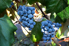 Bunches of grapes Royalty Free Stock Photo