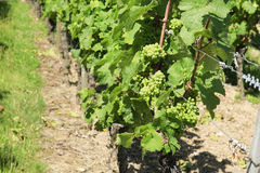 Bunches of Grapes on the vine. At a German vineyard Stock Image