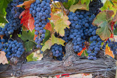 Bunches of grapes on the vine with turning leaves. A collection of cabernet sauvignon grapes on the vine with turning leaves Royalty Free Stock Image