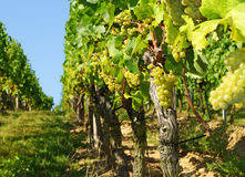 Bunches of grapes on vines Stock Images