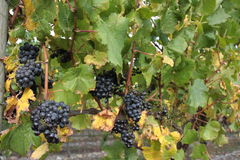 Bunches of grapes on vines Royalty Free Stock Photos