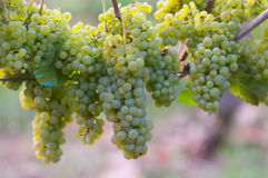 Bunches of grapes on the vines Royalty Free Stock Photos
