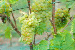 Bunches of grapes on the vines Stock Photos