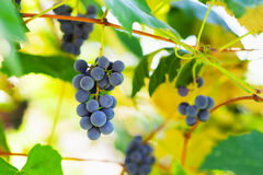 Bunches of grapes in the vineyard Royalty Free Stock Photography