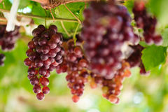 Bunches of grapes in a vineyard Royalty Free Stock Images