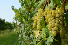 Bunches of grapes in a vineyard before harvest. Bunches of grapes in a vineyard in the Brescia before the harvest Stock Photo