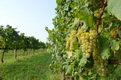 Bunches of grapes in a vineyard before harvest Stock Photo