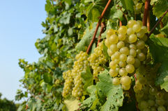 Bunches of grapes in a vineyard before harvest Royalty Free Stock Photography
