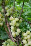 Bunches of grapes in a vineyard after rain on a wine estate or f Stock Image