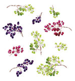 Bunches of grapes on a white background. Royalty Free Stock Images