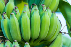 Bunches of green bananas growing in a tropical rain forest Stock Photo