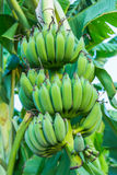 Bunches of green bananas growing in a tropical rain forest Stock Photos