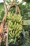 Bunches of green bananas growing. Green bananas growing in a tropical rain forest Stock Photography