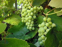 Bunches of green grapes stock photo