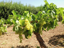 Bunches of green grapes on a vine. Bunches of green grapes hanging from a trellised grapevine in a vineyard stock image