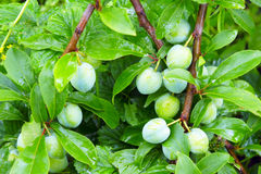 Bunches of green plums close-up. The bunches of green plums close-up Stock Image