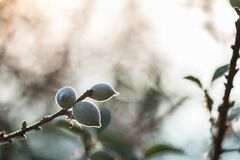The bunches of green plums Royalty Free Stock Image
