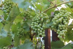 Bunches of green unripe grapes on the vine royalty free stock photo