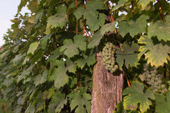 Bunches of green wine grapes growing in vineyard. Close up view of fresh green wine grape. Bunches of green wine grapes hanging on. The wine in late afternoon stock photography