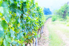 Bunches of green wine grapes Royalty Free Stock Photo