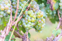 Bunches of green wine grapes Royalty Free Stock Images