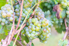Bunches of green wine grapes Royalty Free Stock Image