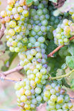 Bunches of green wine grapes Stock Photo