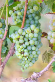 Bunches of green wine grapes Royalty Free Stock Photos