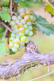 Bunches of green wine grapes Stock Photography