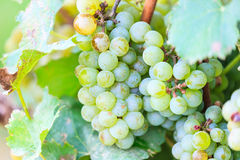Bunches of green wine grapes Stock Photos