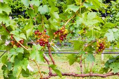 Bunches of growing seedless grapes on a vine Stock Photos