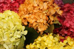 Bunches of Colorful hydrangea for sale Stock Photography