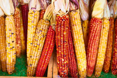 Bunches of indian corn Royalty Free Stock Image