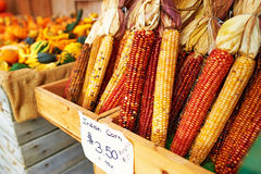Bunches of indian corn Stock Photography